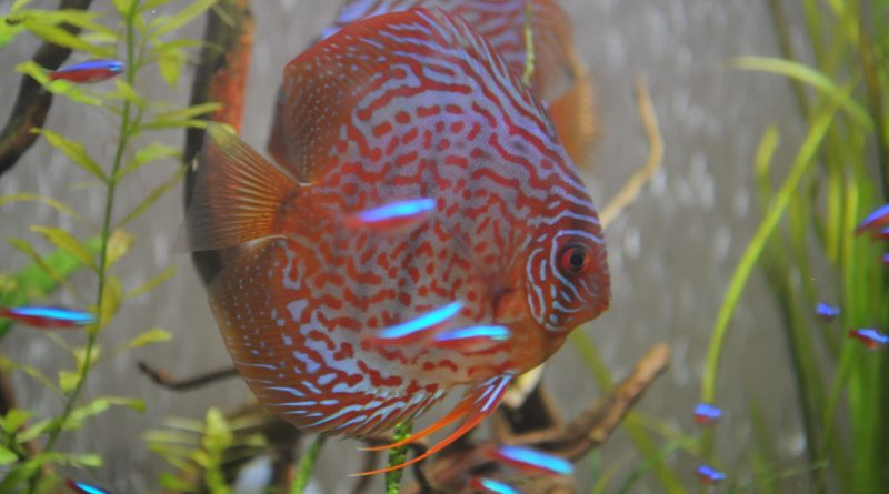 Are discus really that difficult to keep ce fish essentials for Keeping discus fish