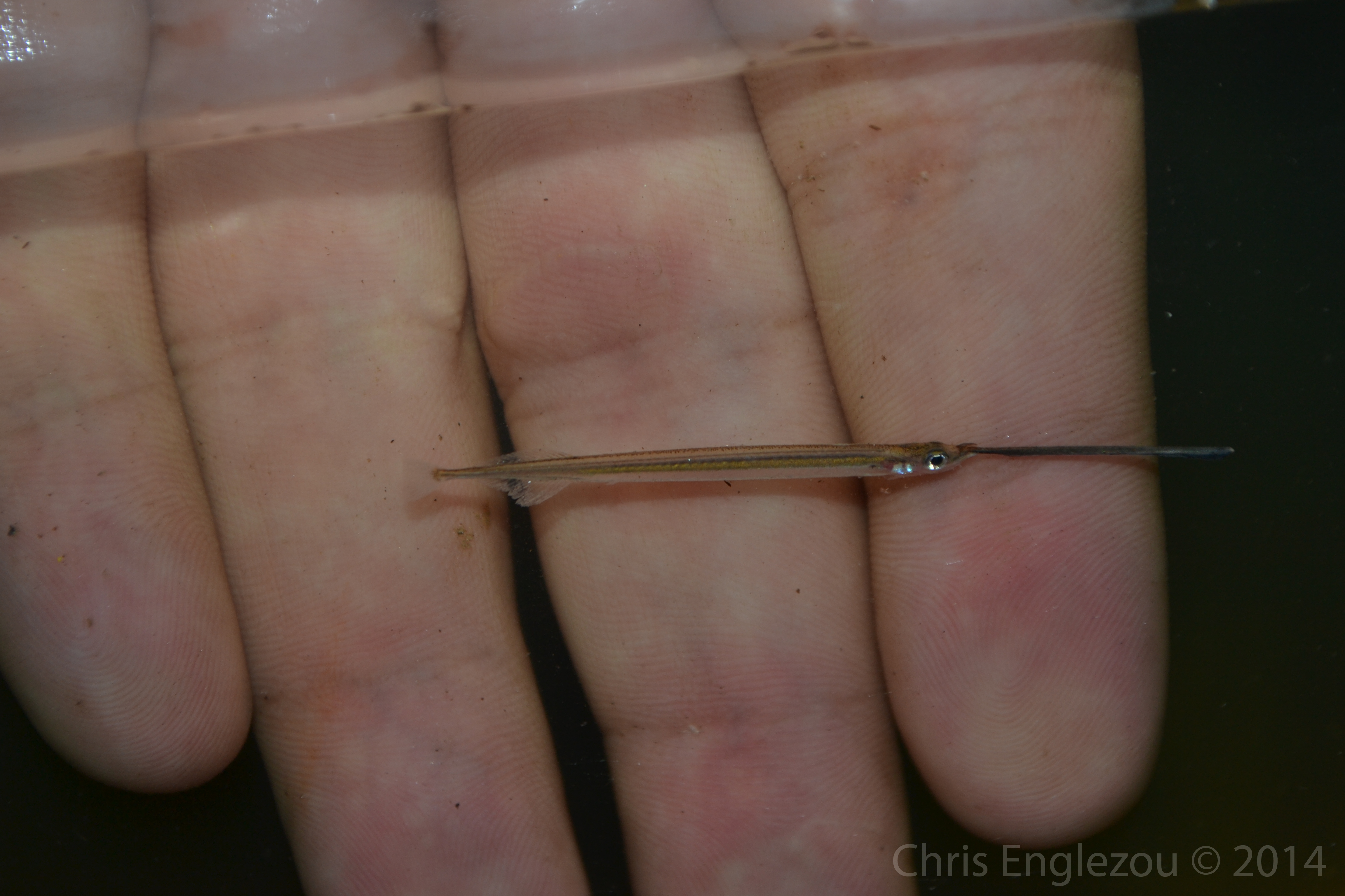 Juvenile needlefish-1
