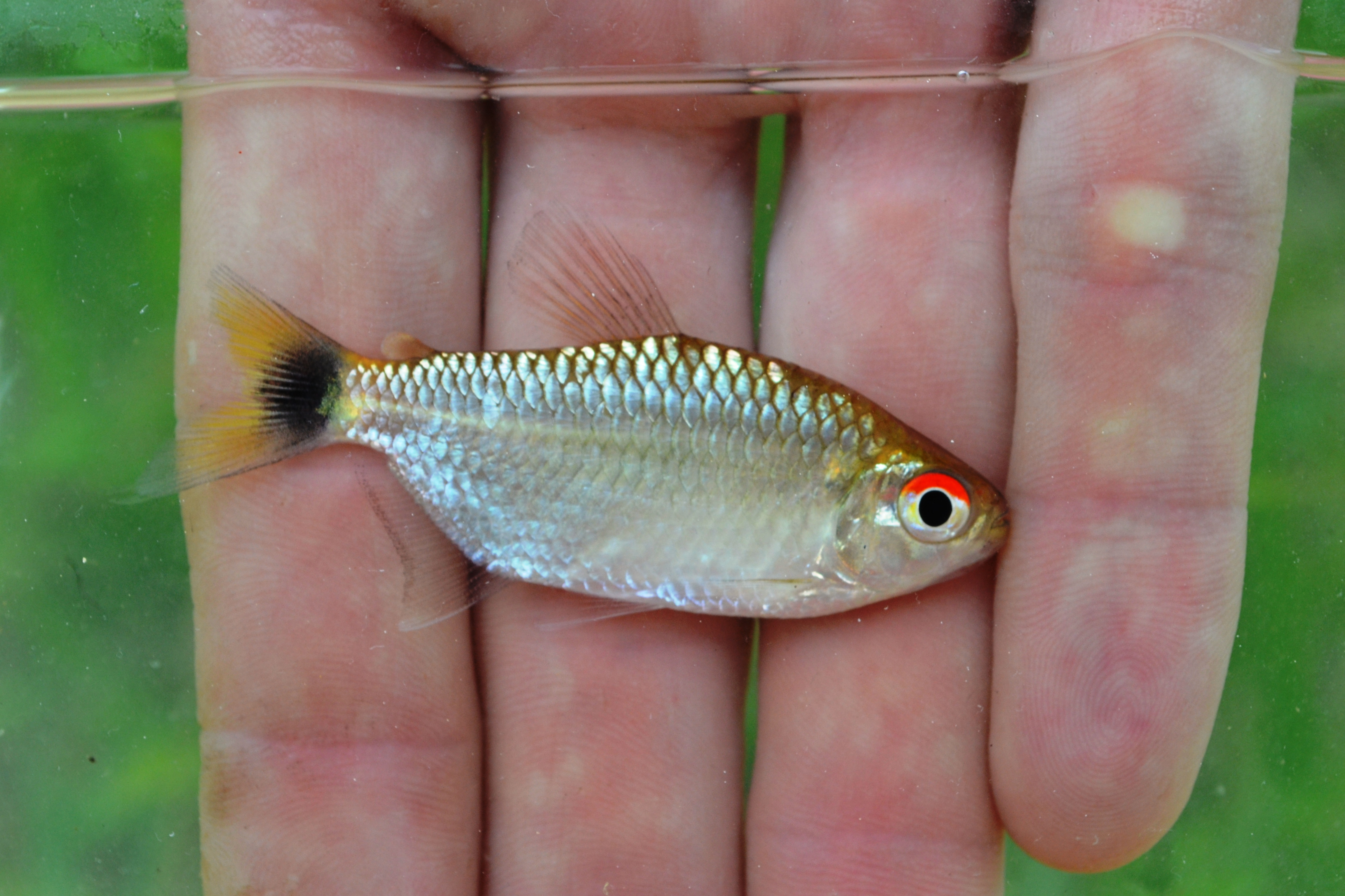 Red Eyed tetra