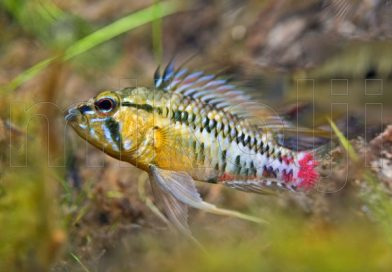 The natural habitat of Apistogramma hongsloi | A stream biotope along the Orinoco