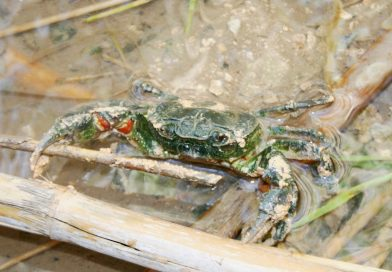 An Endangered Freshwater Crab in Malta | Potamon fluviatile lanfrancoi