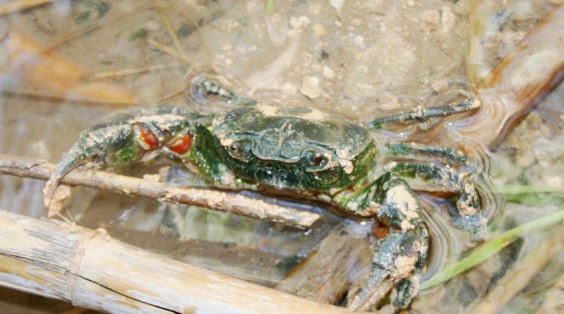 potamon freshwater crab malta
