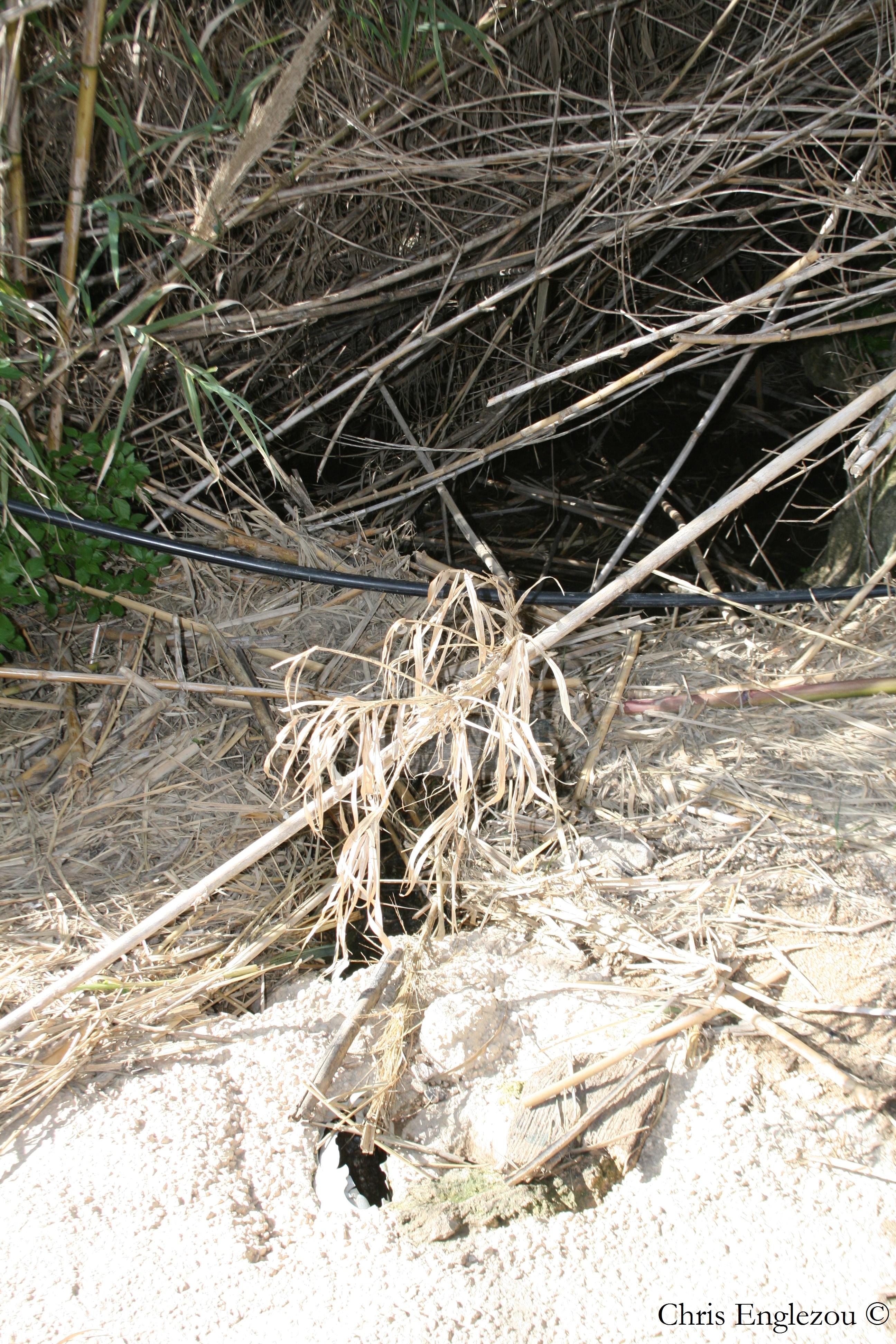 freshwater crab malta