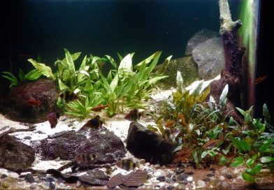 Biotope Aquarium 101: An authentic Sri Lankan rainforest biotope for Cherry Barbs