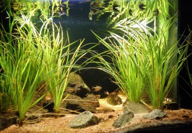 Biotope Aquarium 101: An authentic Guyana biotope for Glowlight Tetras