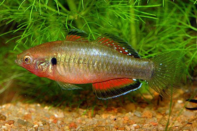 Biotope aquarium 101 an australian billabong biotope for for Empire fish market