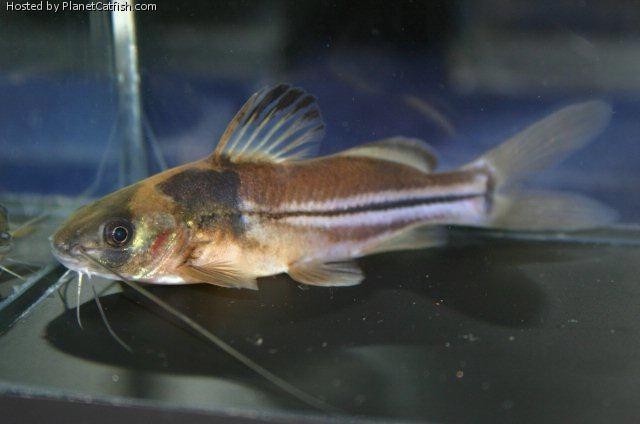 New Cory Cats | Corydoras 397855 - fishlore.com