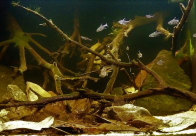 Biotope Aquarium 101: An authentic Guyana biotope for the Golden Dwarf Cichlid
