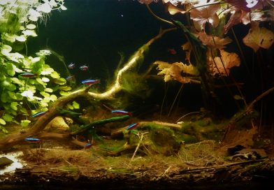 Biotope 101: An authentic upper Rio Araçá biotope for Rummynose and Cardinal tetras