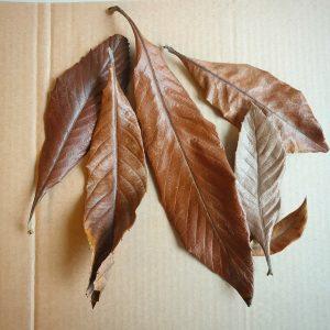 eriobotrya-loquat-leaves-botanicals-biotope-aquarium